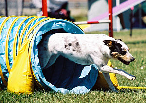 Mixed-breed dog doing dog agility Mix of a Que...